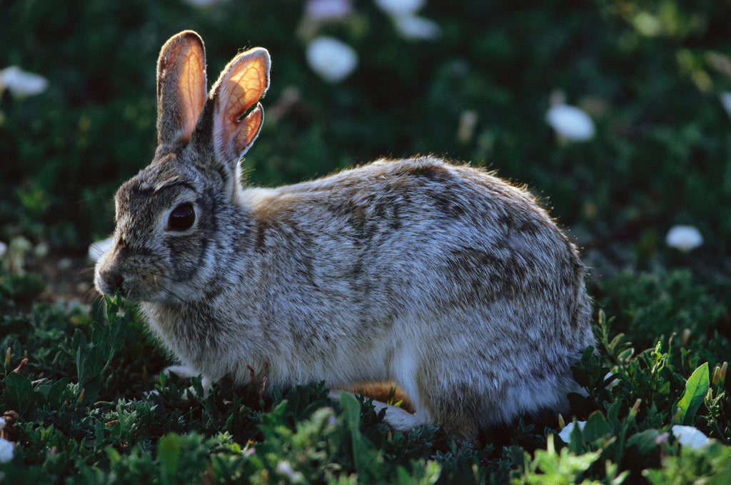 Detail of Eastern Cottontail by Corbis