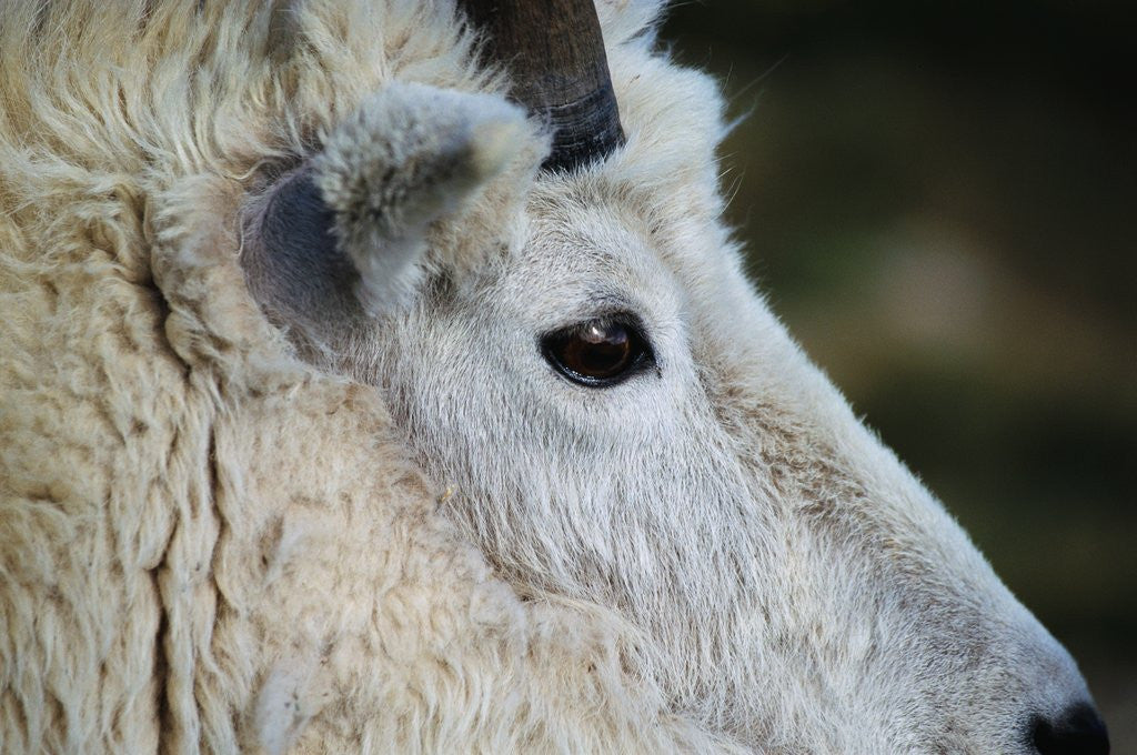 Detail of Mountain Goat by Corbis