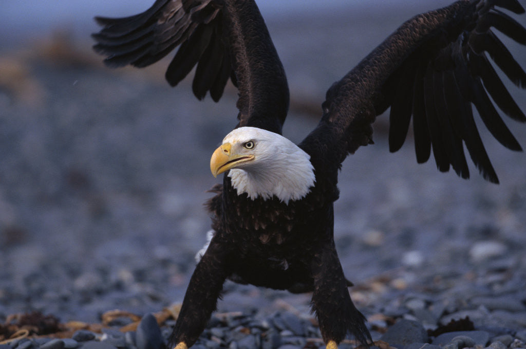 Detail of Bald Eagle Spreading Wings by Corbis