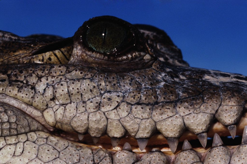 Detail of Eye of an American Crocodile by Corbis