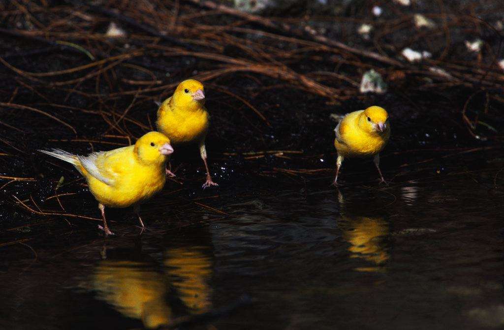 Detail of Canaries Standing by Water by Corbis