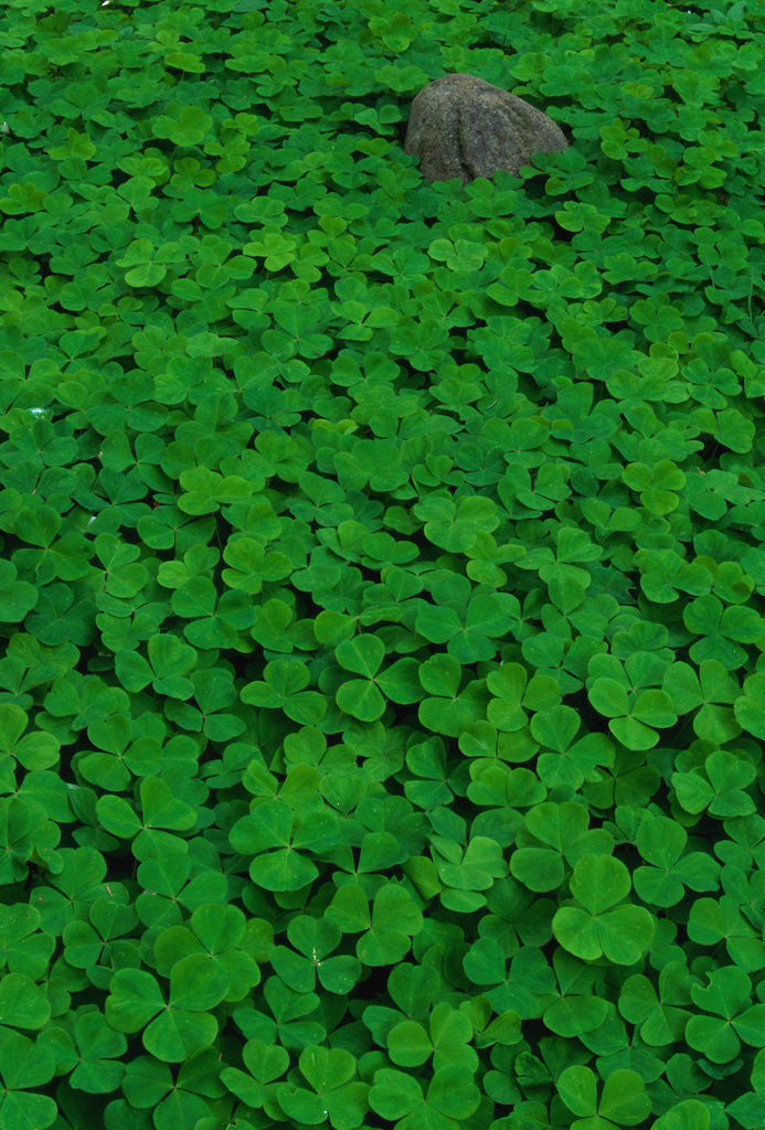 Detail of Clover Patch by Corbis