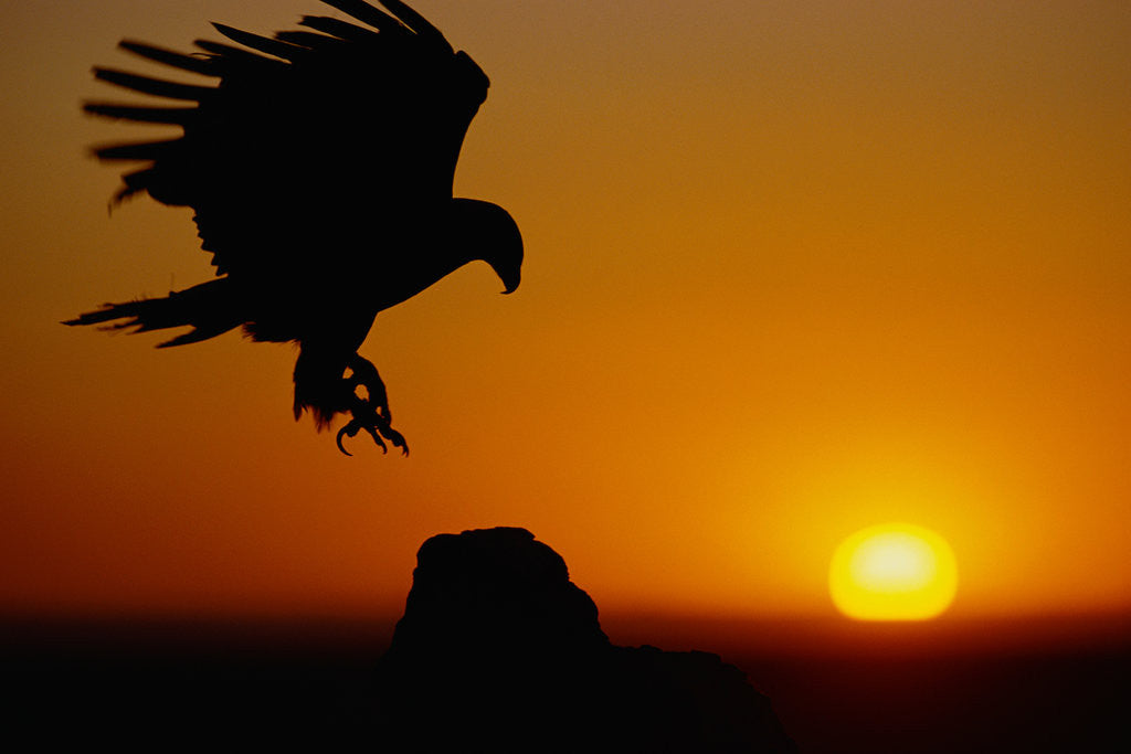 Detail of Golden Eagle at Sunset by Corbis