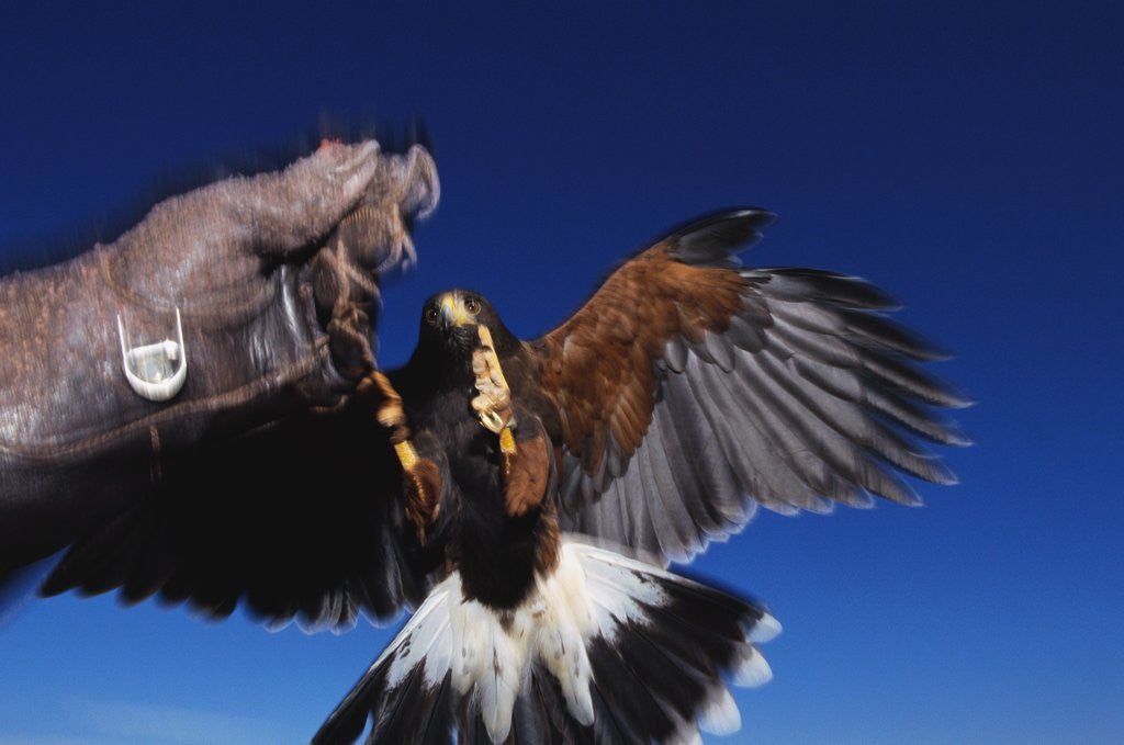Detail of Harris' Hawk Returning to Falconer by Corbis