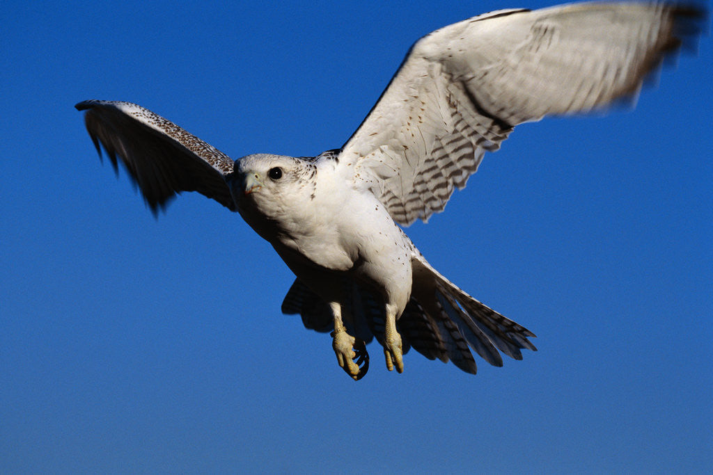 Detail of Gyrfalcon Landing by Corbis