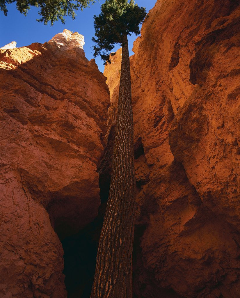 Detail of Douglas Fir in Bryce Canyon by Corbis