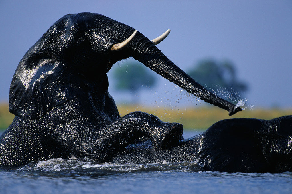 Detail of African Elephants Playing in River by Corbis