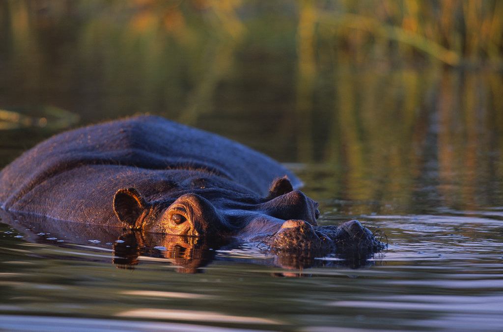 Detail of Hippopotamus Swimming in the Khwai River by Corbis