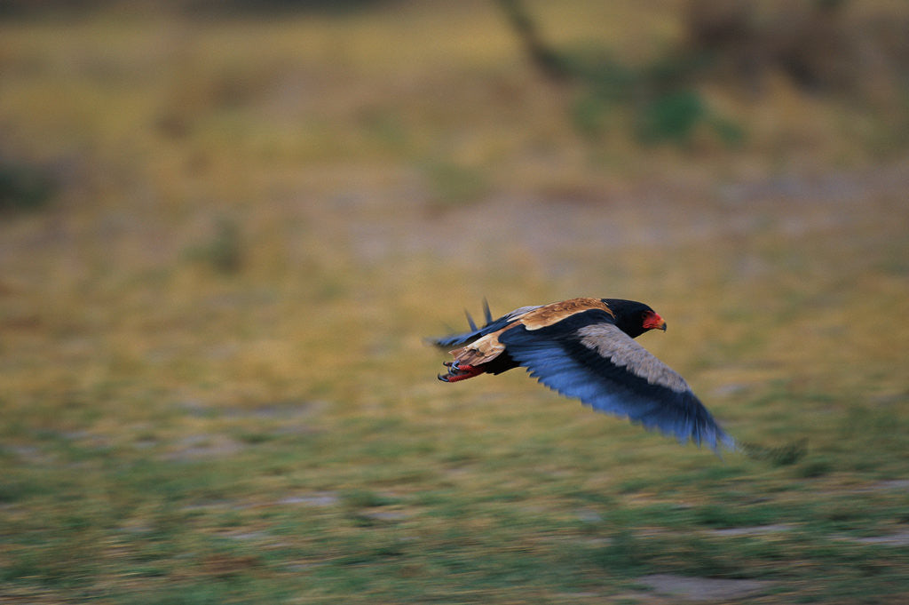 Detail of A Bateleur in Flight by Corbis