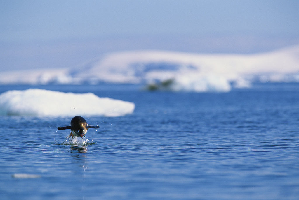 Detail of Gentoo Penguin Jumping Out of Water by Corbis