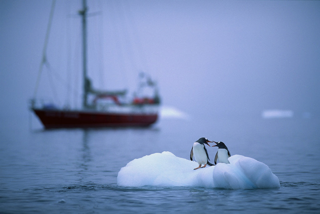Detail of Gentoo Penguins Perching on Small Iceberg by Corbis