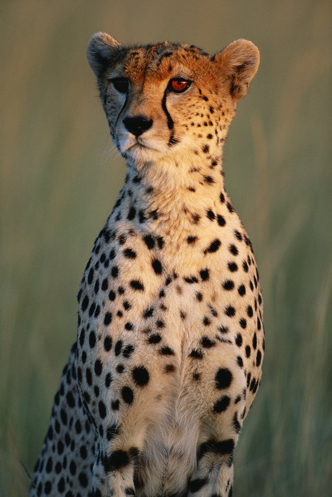 Detail of Cheetah Sitting in Grass by Corbis