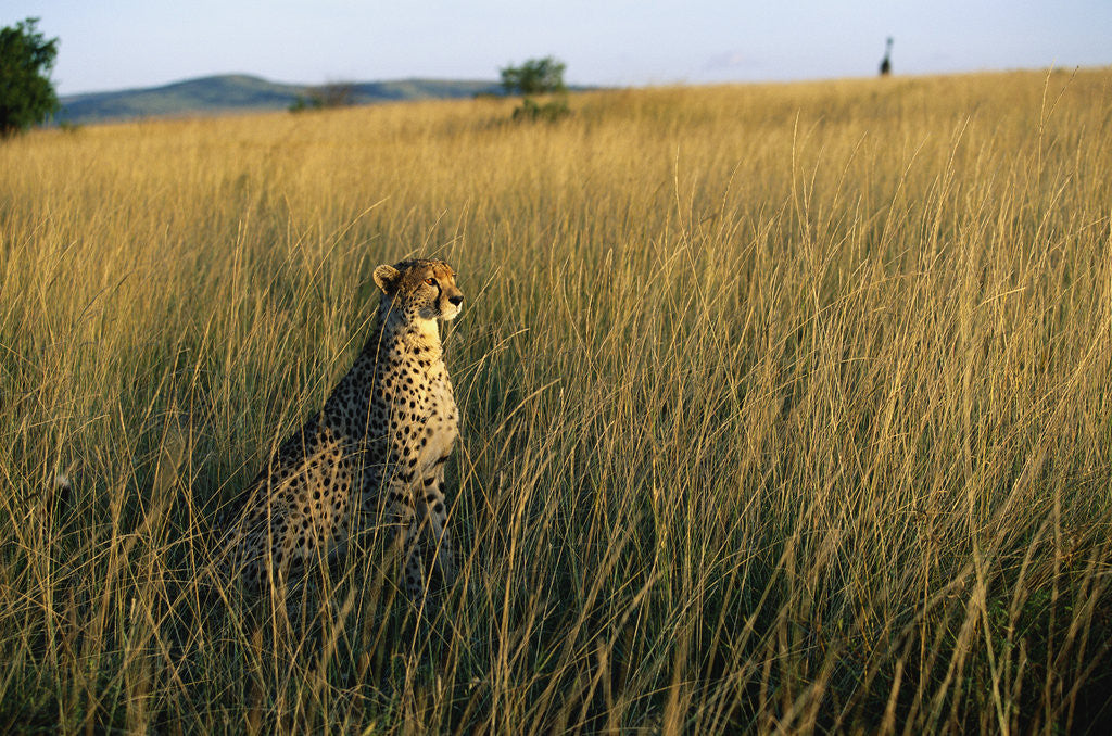 Detail of Cheetah Sitting in Tall Grass by Corbis