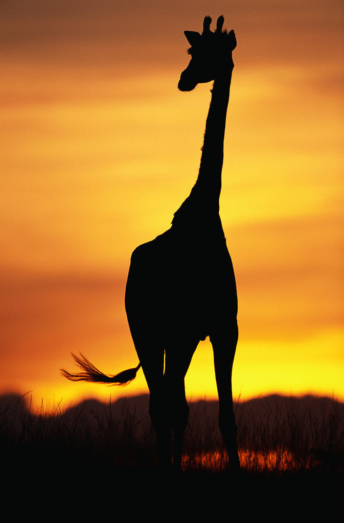 Detail of Giraffe Silhouetted at Sunset by Corbis