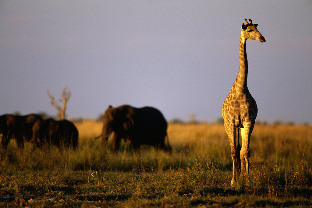 Detail of Giraffe Standing Near Elephant Herd by Corbis