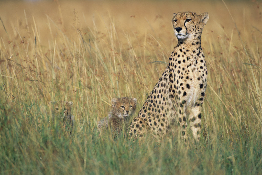 Detail of Cheetah with Cubs in Tall Grass by Corbis