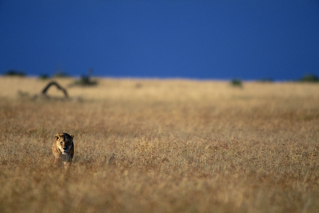 Detail of Lone Lioness in Savanna by Corbis