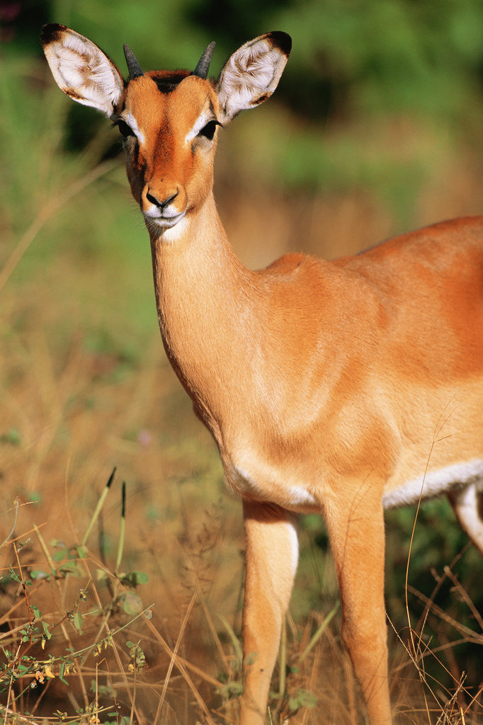 Detail of Alert Male Impala by Corbis