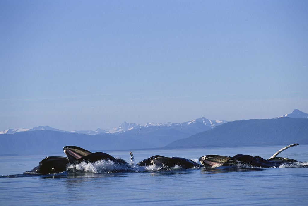 Detail of Humpback Whales Feeding in Frederick Sound by Corbis