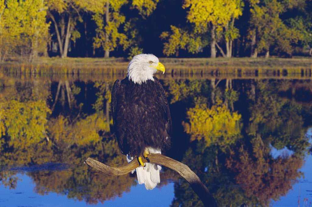 Detail of Bald Eagle Perched on Branch by Corbis