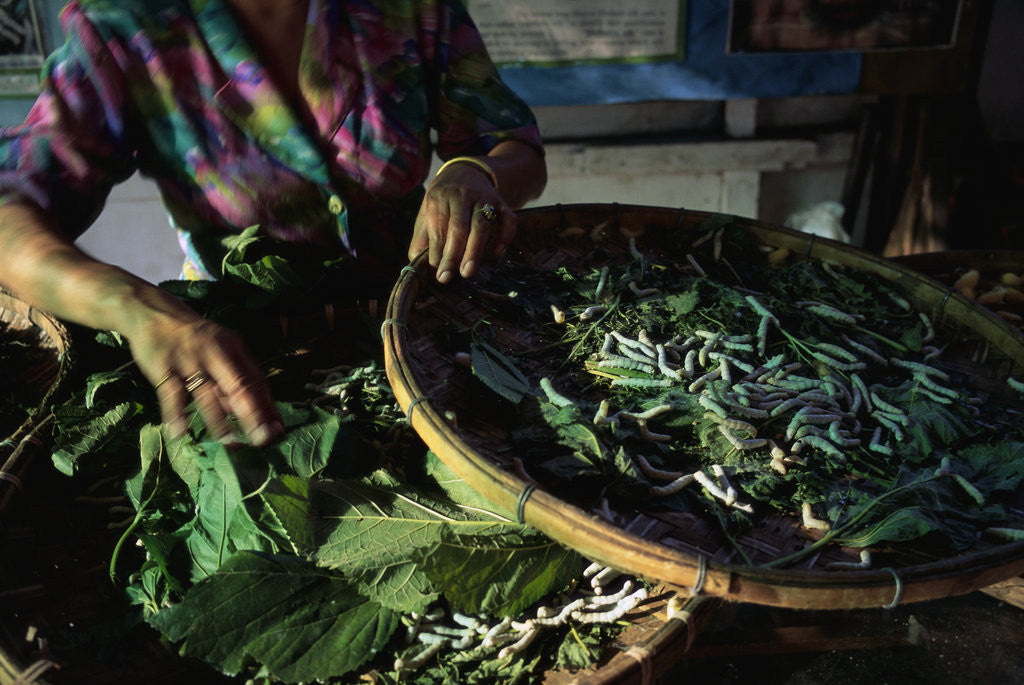 Baskets of Silkworms by Corbis