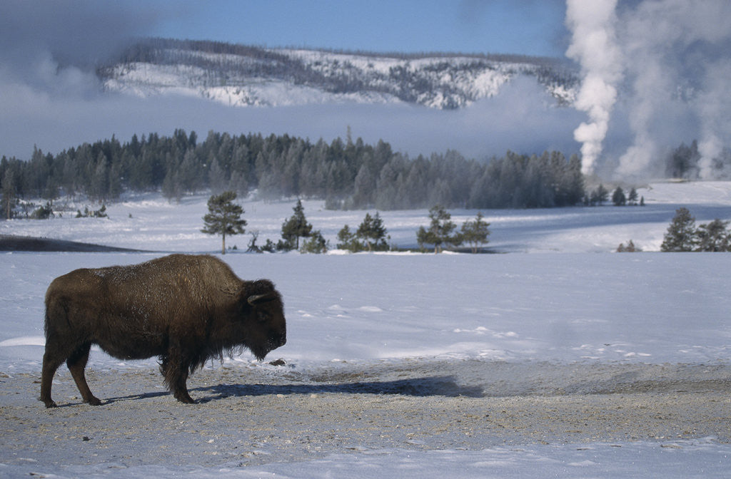 Detail of Bison Standing near Geysers in Winter by Corbis