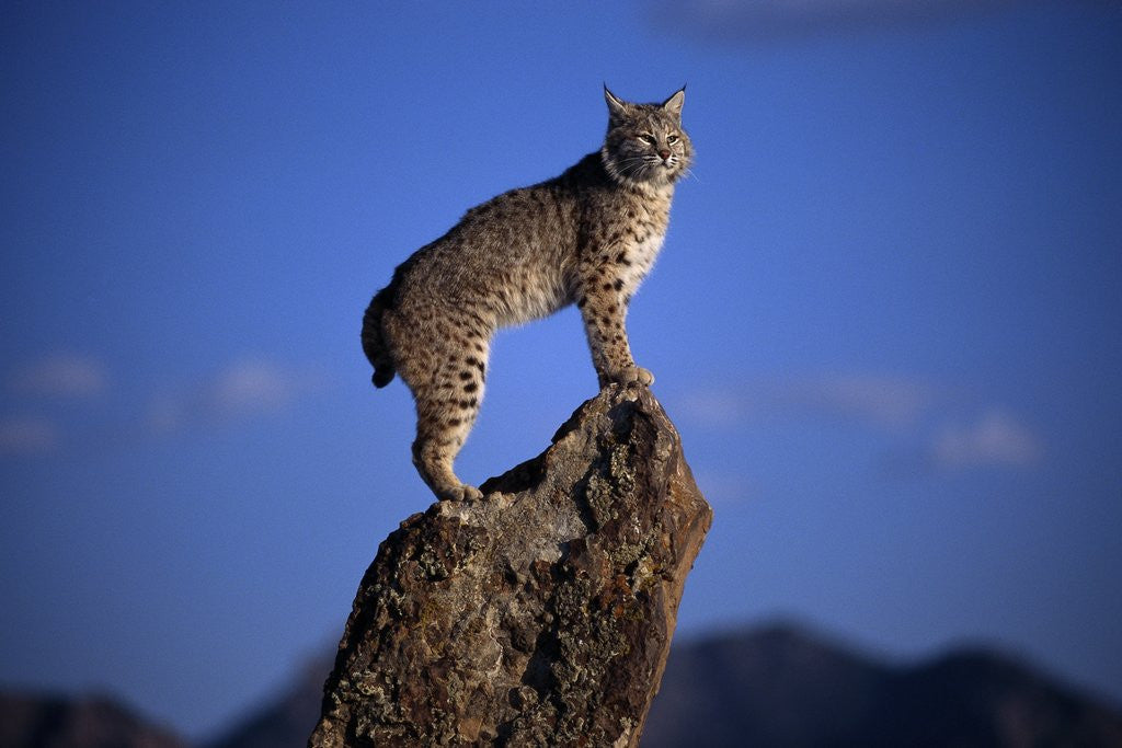 Detail of Bobcat Perched atop Rock by Corbis