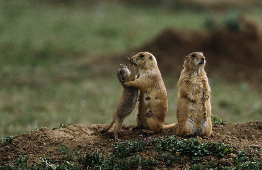 Detail of Black-tailed Prairie Dog Family by Corbis