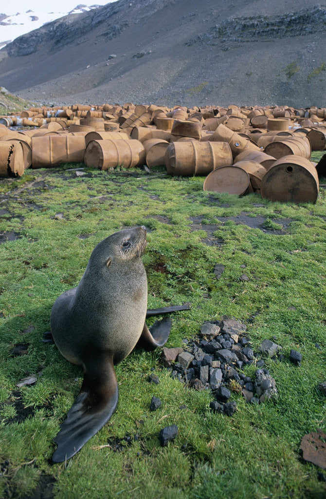 Detail of Fur Seal Resting near Rusted Barrels by Corbis