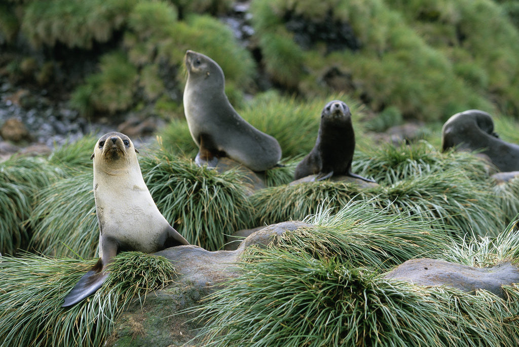 Detail of Antarctic Fur Seals Resting on Tussock Grass by Corbis