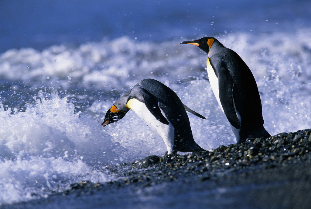 Detail of King Penguins Entering Water by Corbis