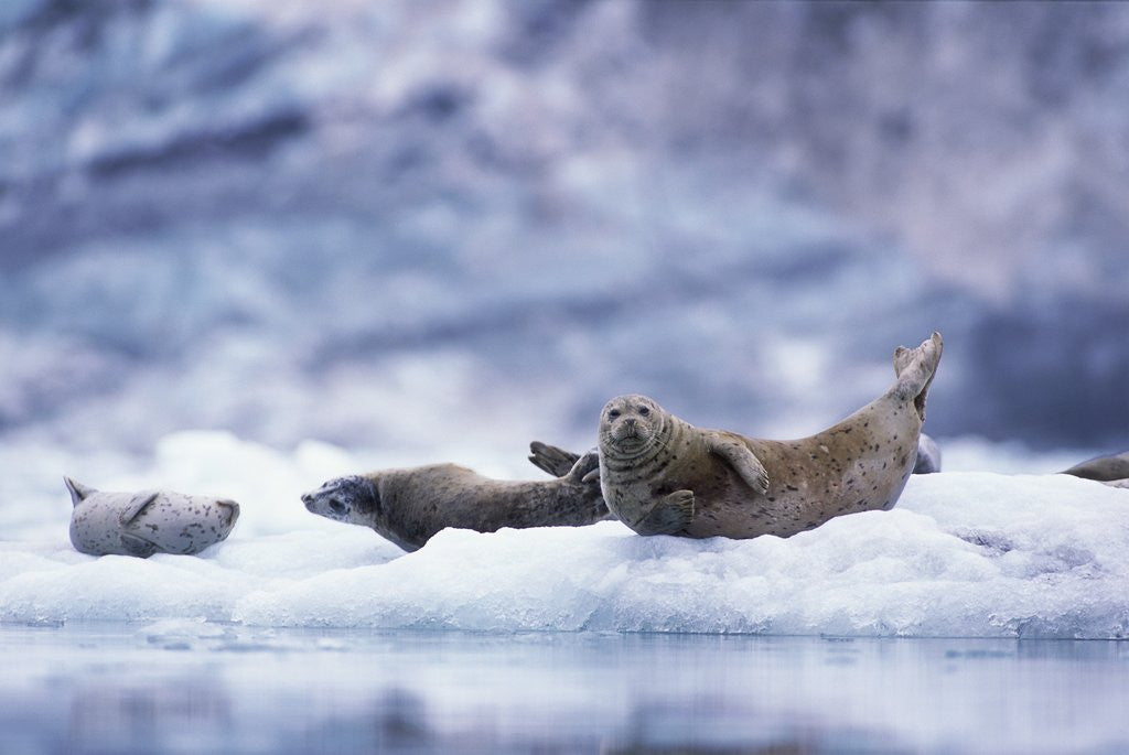 Detail of Harbor Seals on Iceberg in Glacier Bay National Park by Corbis