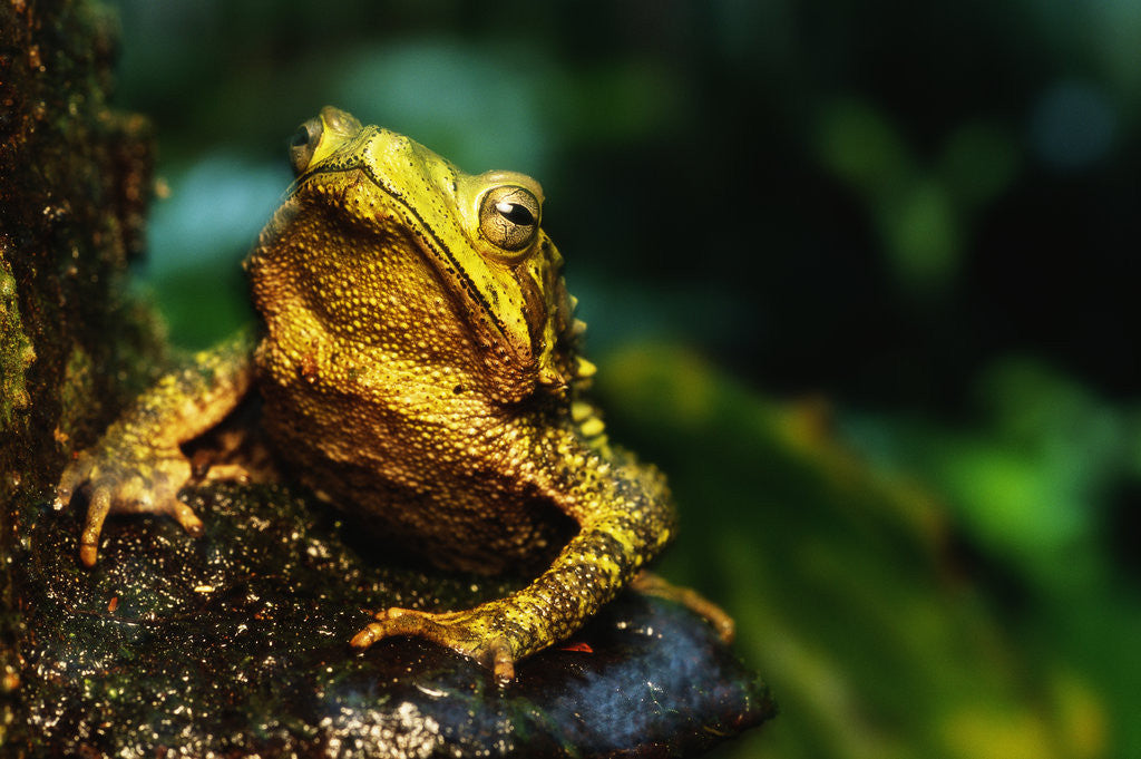 Detail of Green Climbing Toad by Corbis