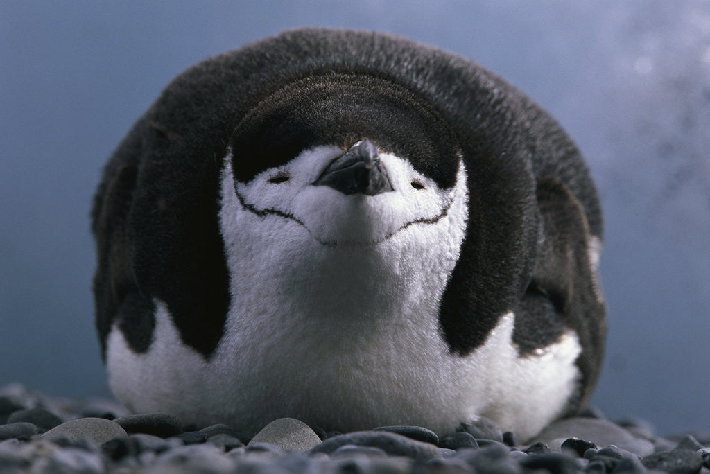 Detail of Chinstrap Penguin Resting on Deception Island in Antarctica by Corbis