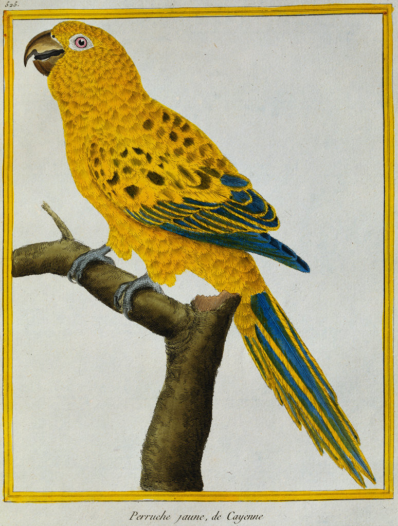 Print of a Yellow Parrot from the Natural History of Birds posters ...