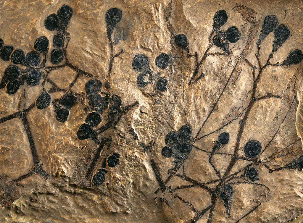Fossil of Basswood Stems and Berries by Corbis