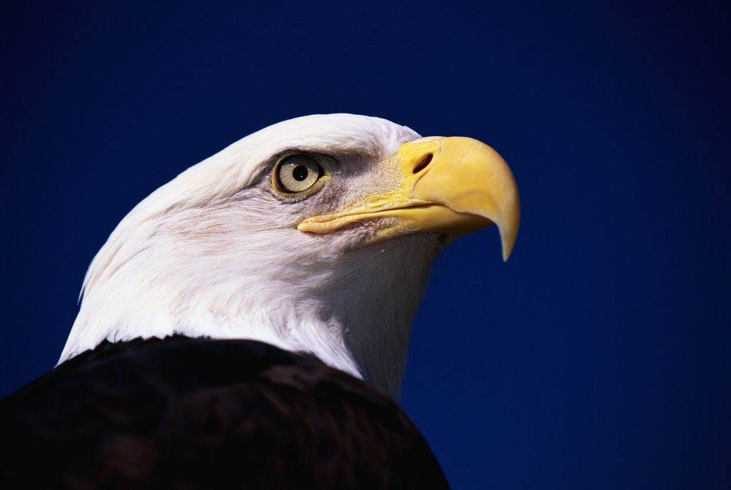 Detail of American Bald Eagle by Corbis