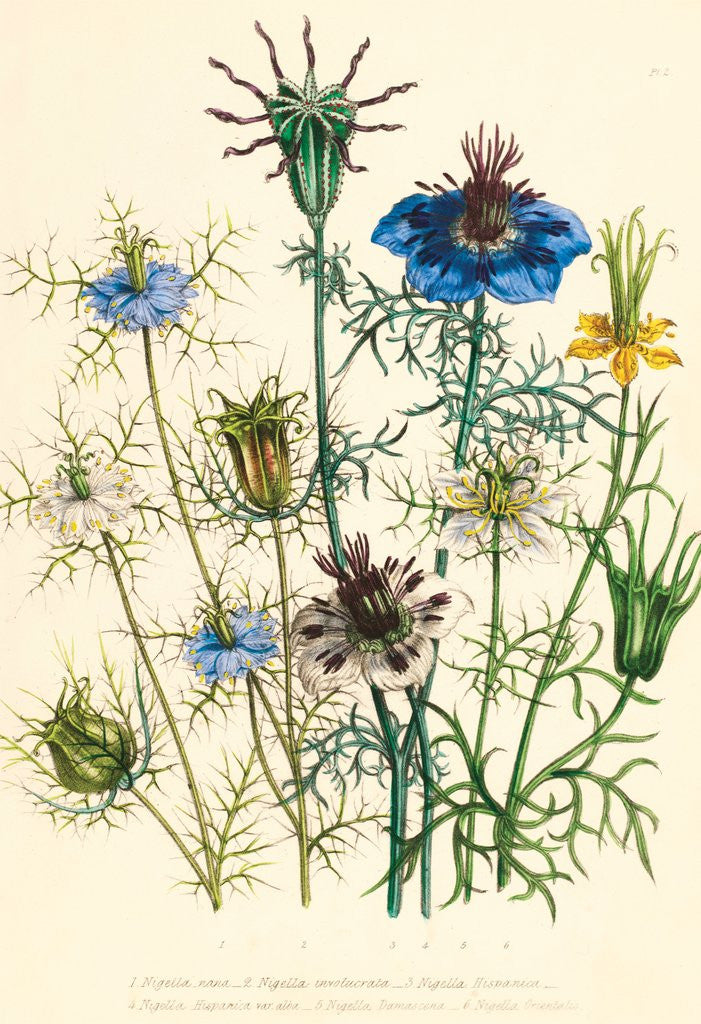 Detail of Illustrations of various Nigellas / Love in a Mist by Jane Webb Loudon