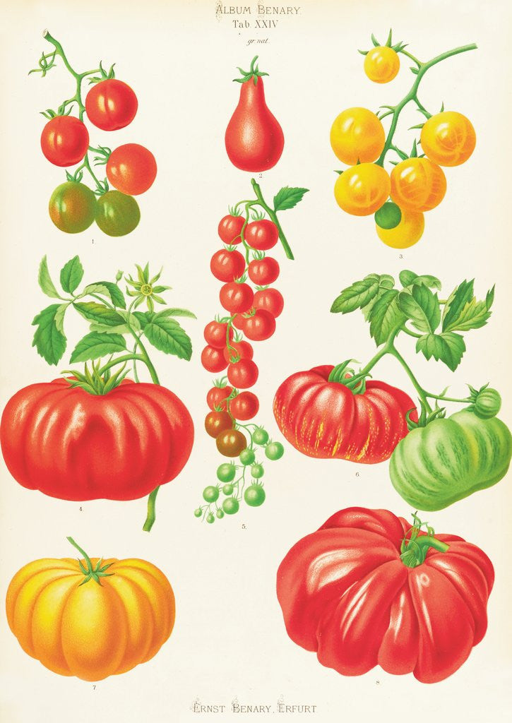 Detail of Tomatoes, or Love-Apples by Ernst Benary