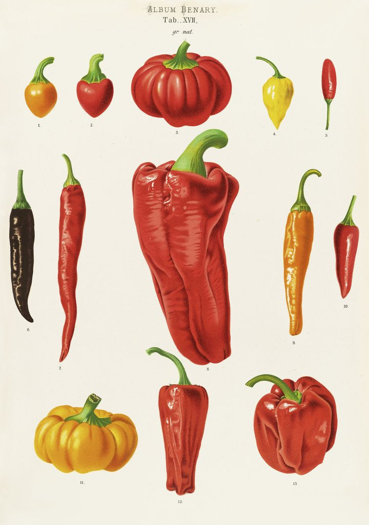 Detail of Capsicums, or Chilli Peppers by Ernst Benary