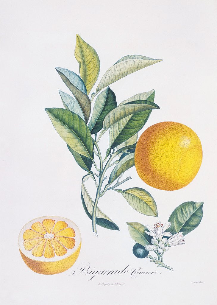 Detail of Orange Bigarrade Couronnée by Antoine Poiteau
