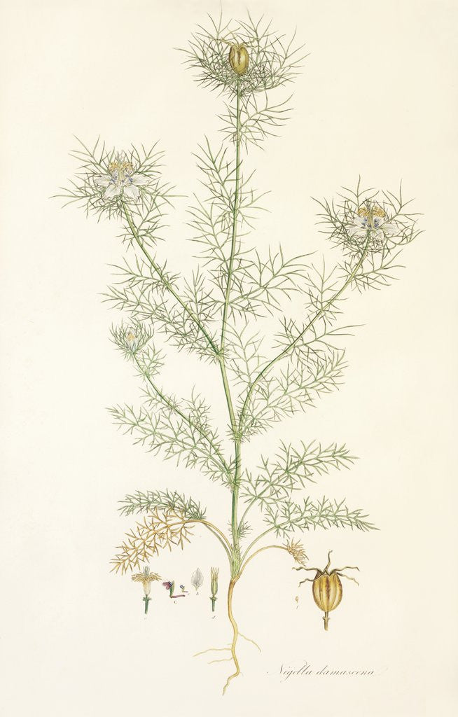 Detail of Nigella damascena. Love in a Mist by John Sibthorp