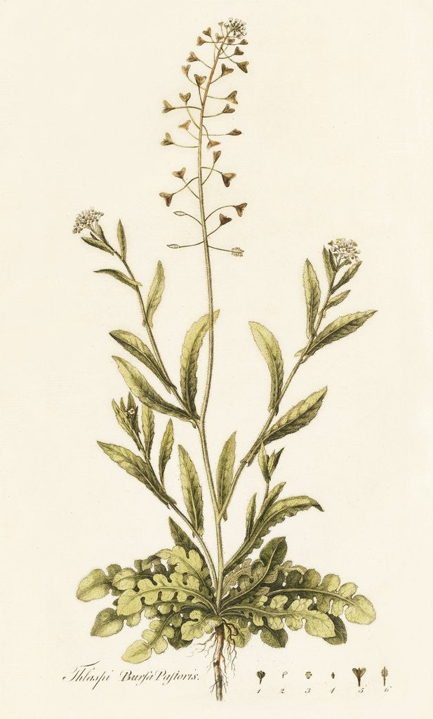 Capsella (Thlaspi) Bursa Pastoris . Shepherd's Purse by William Curtis