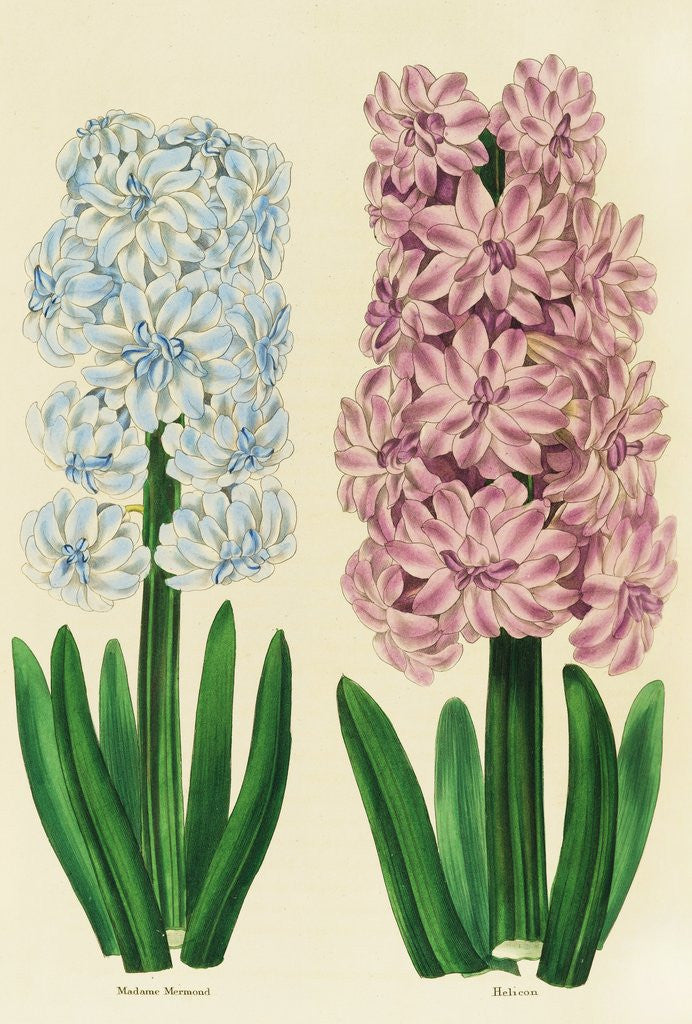 Detail of Hyacinths Madame Mermond and Helicon by Anon