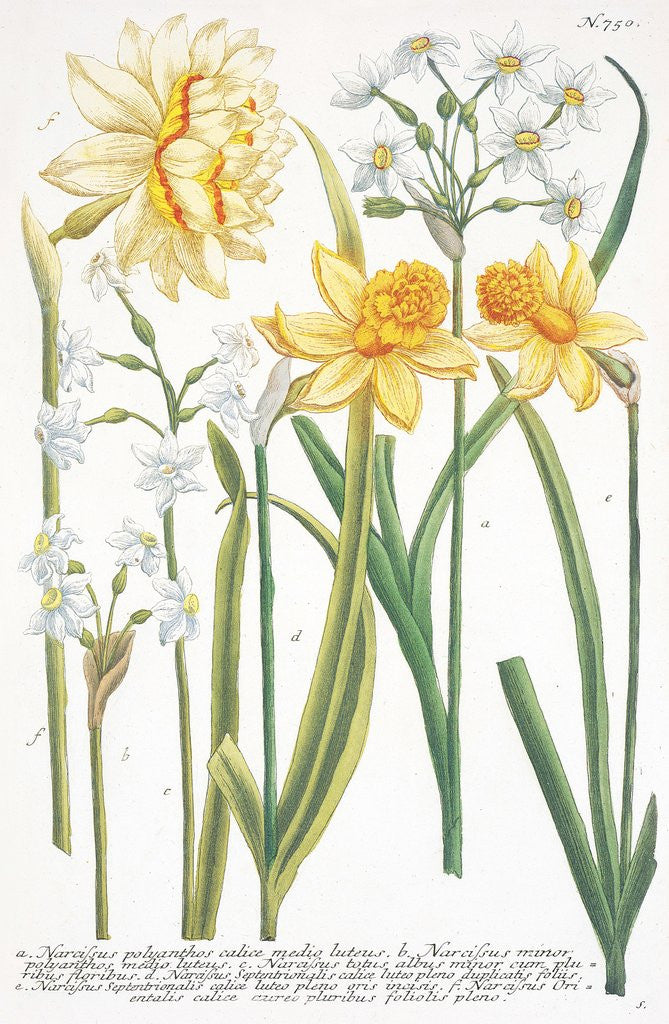 Detail of Illustrations of various Narcissi by Johann Wilhelm Weinmann