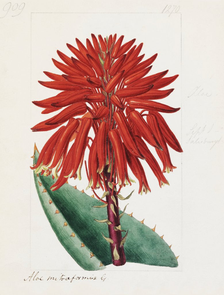 Detail of Aloe mitriformis Mill. Mitre Aloe by Sydenham Teast Edwards