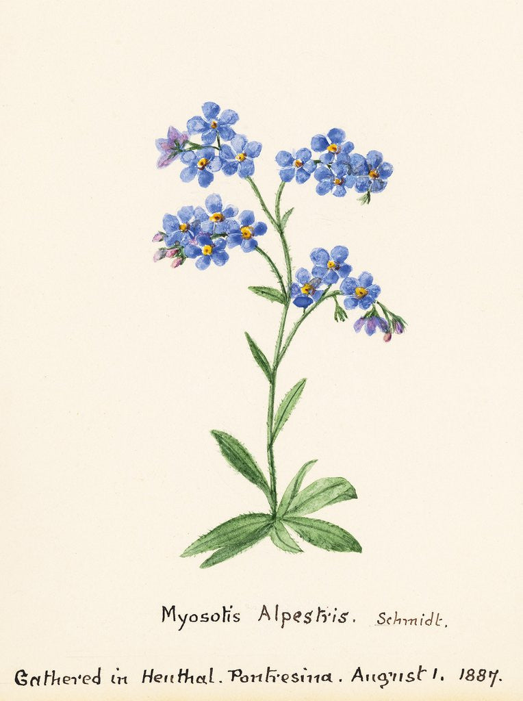 Myosotis alpestris fw schmidt forget me not posters prints detail of myosotis alpestris fw schmidt forget me not by sidney eliza forster ccuart Image collections