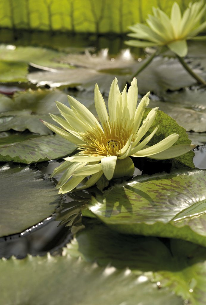 Detail of Nymphaea eldorado. Waterlily by Andrew McRobb