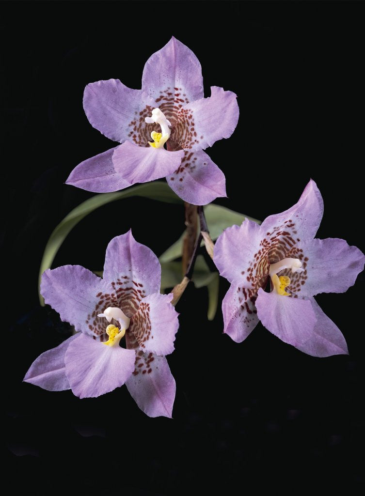 Detail of Lemboglossum cervantesii by Andrew McRobb
