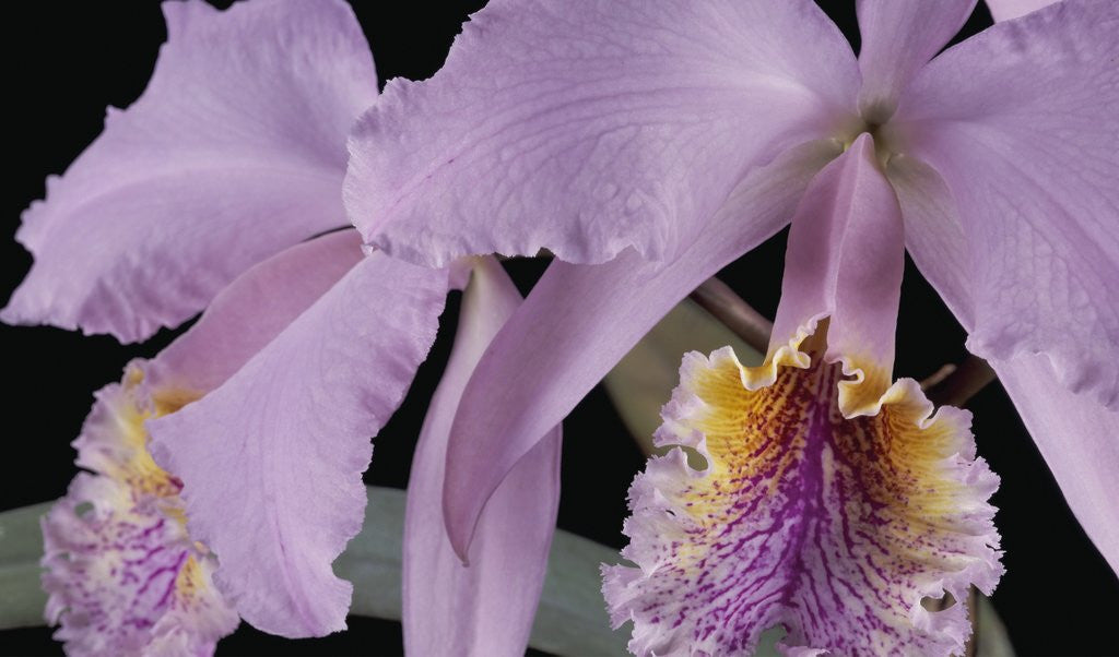 Detail of Cattleya labiata var. mossiae by Andrew McRobb